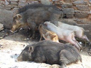 happy_pigs_balenavolante